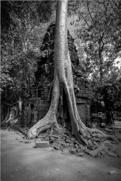 One of the many strangler trees in Ta Prohm temple, Angkor Park, Cambodia.