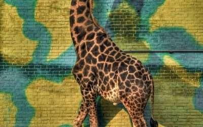 Neurotic Giraffe