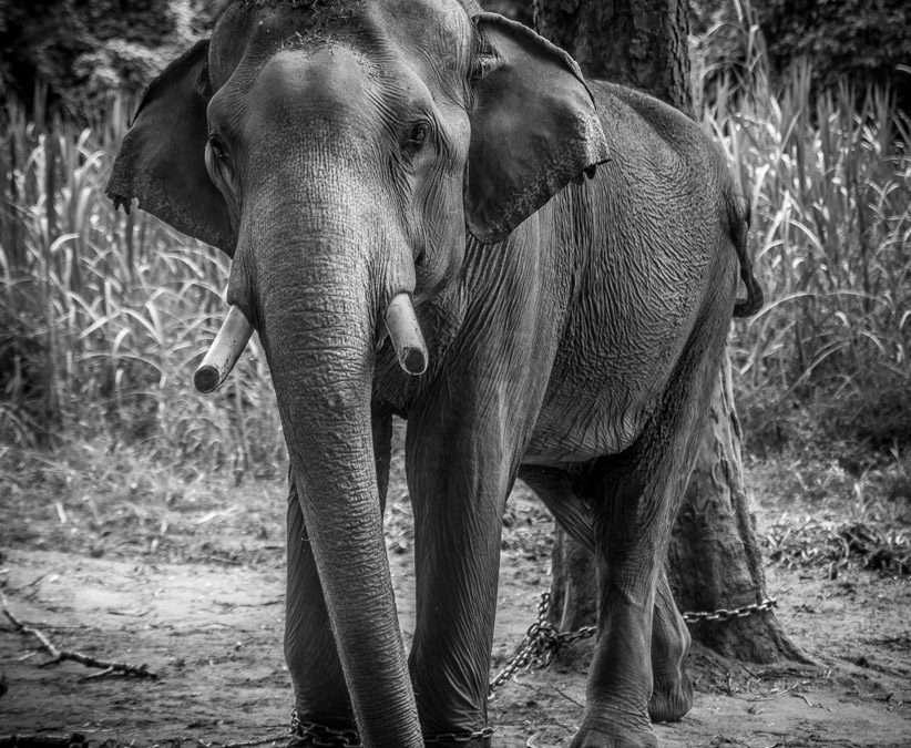 Thailand's Pet Elephants